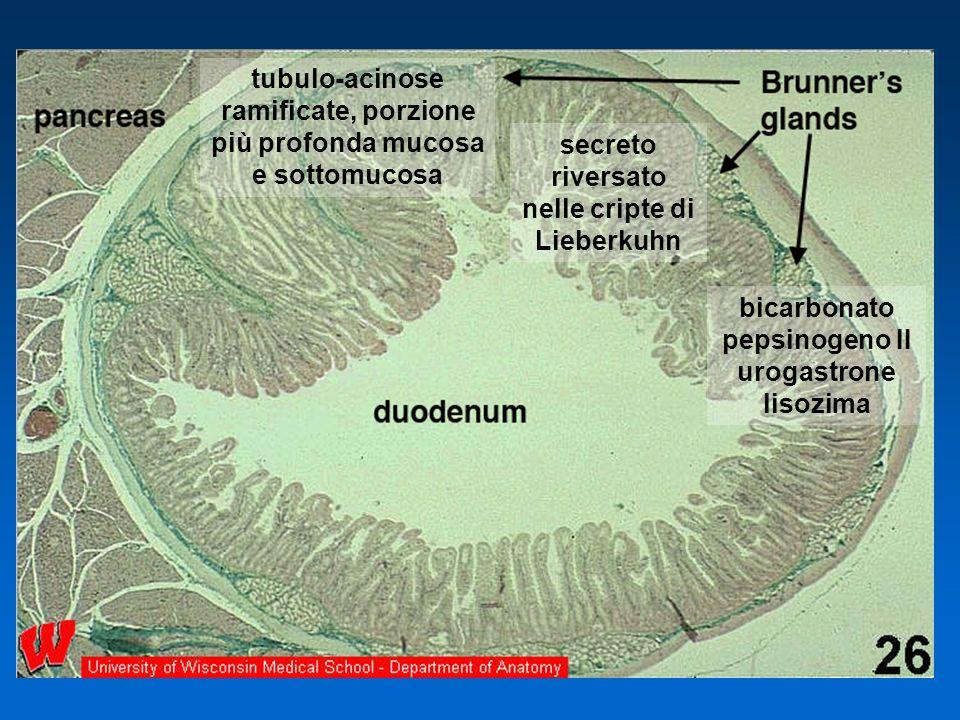tubulo-acinose ramificate, porzione più profonda mucosa e sottomucosa