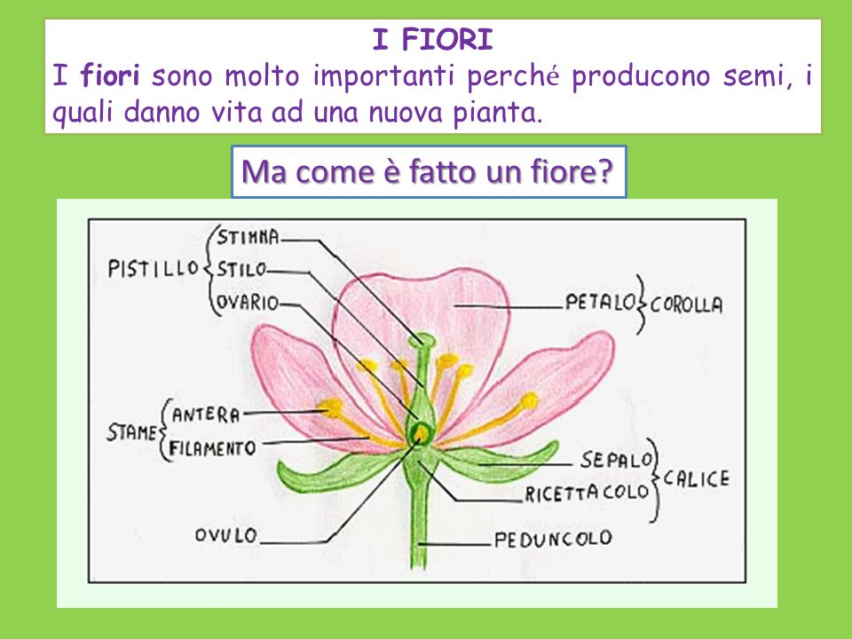 Ma come è fatto un fiore I FIORI