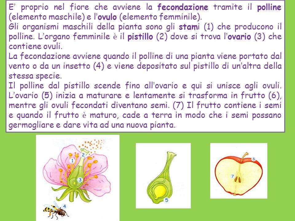 E' proprio nel fiore che avviene la fecondazione tramite il polline (elemento maschile) e l'ovulo (elemento femminile).