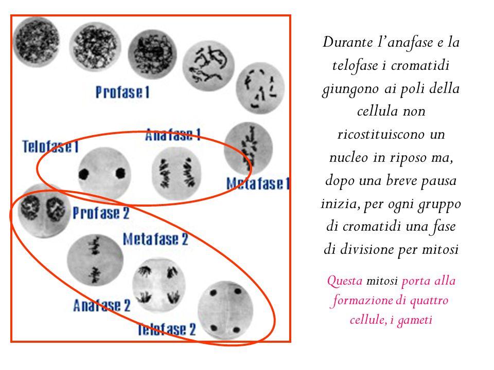 Questa mitosi porta alla formazione di quattro cellule, i gameti