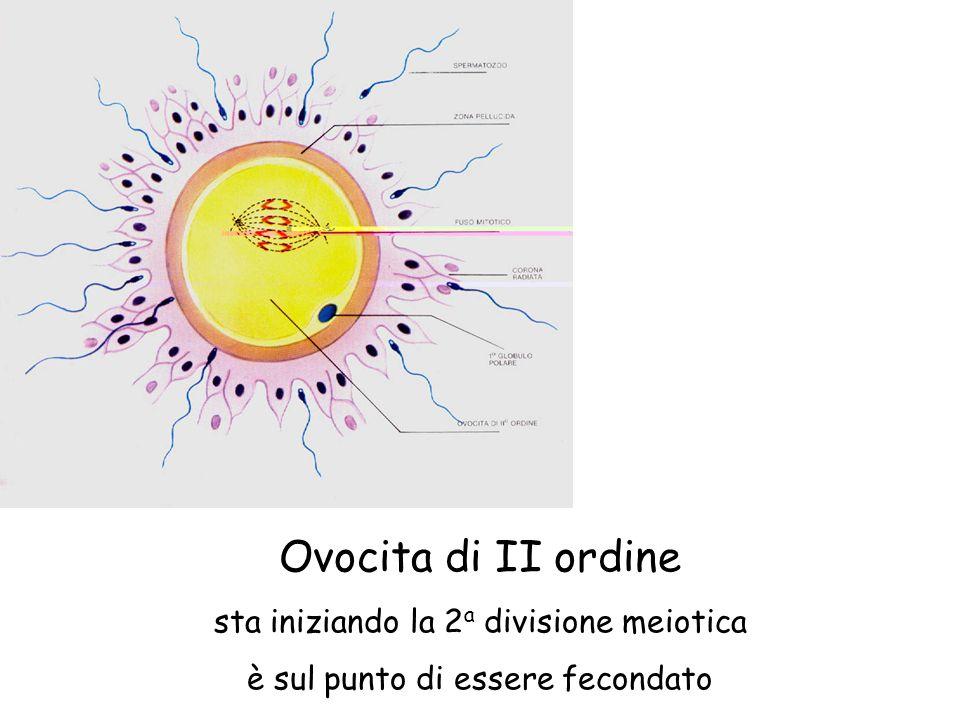 Ovocita di II ordine sta iniziando la 2a divisione meiotica