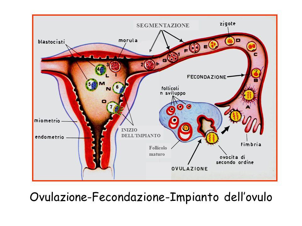 Ovulazione-Fecondazione-Impianto dell'ovulo