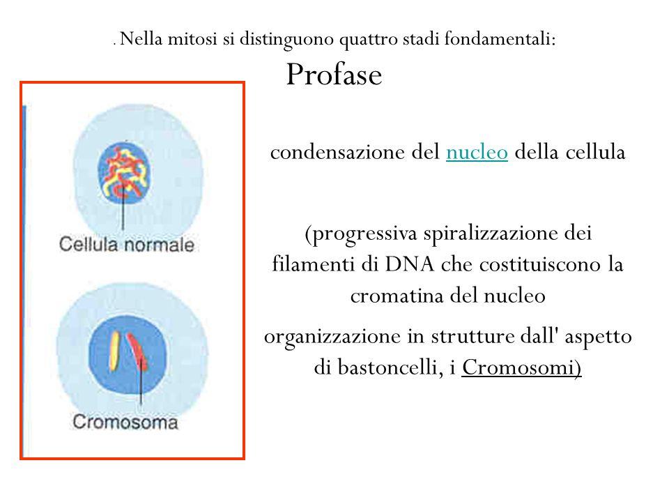 Profase condensazione del nucleo della cellula