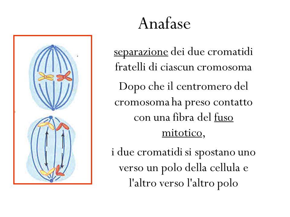 separazione dei due cromatidi fratelli di ciascun cromosoma