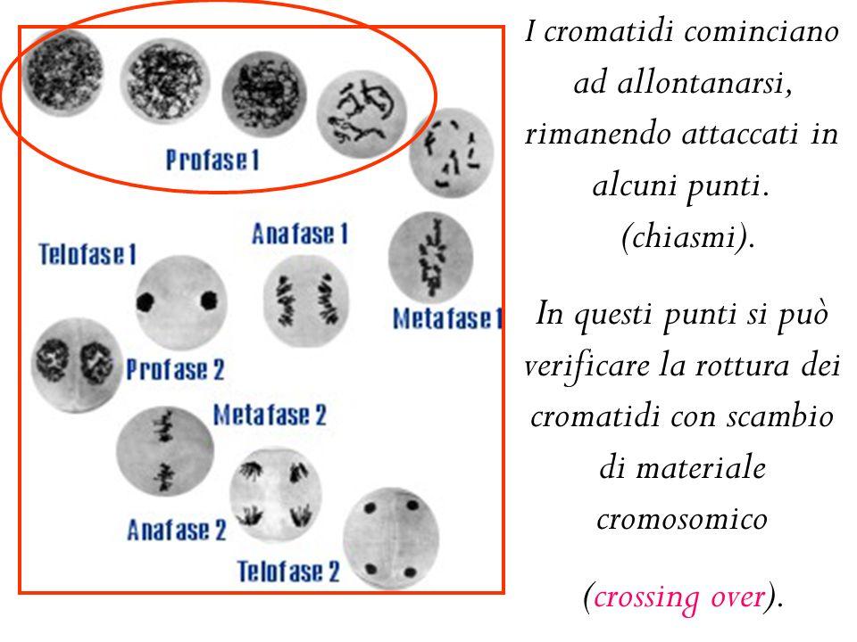 I cromatidi cominciano ad allontanarsi, rimanendo attaccati in alcuni punti. (chiasmi).