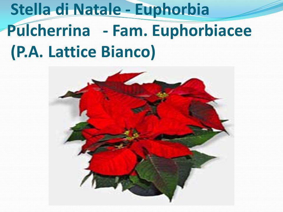 Stella di Natale - Euphorbia Pulcherrina - Fam. Euphorbiacee (P. A