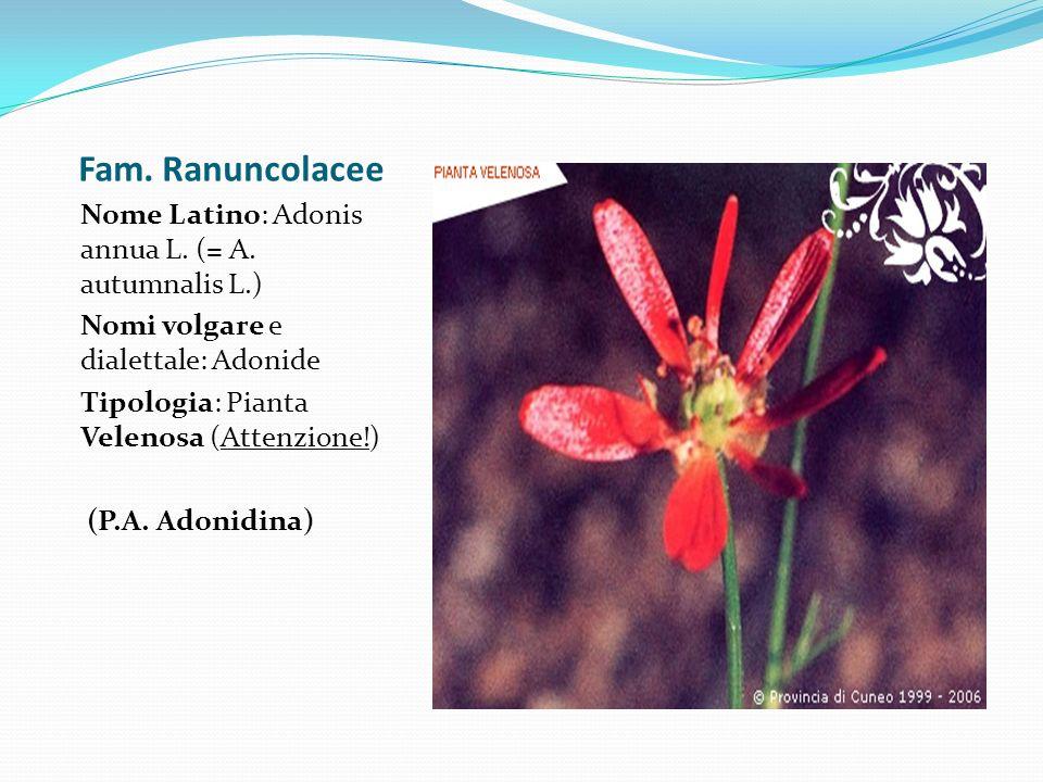 Fam. Ranuncolacee Nome Latino: Adonis annua L. (= A. autumnalis L.)