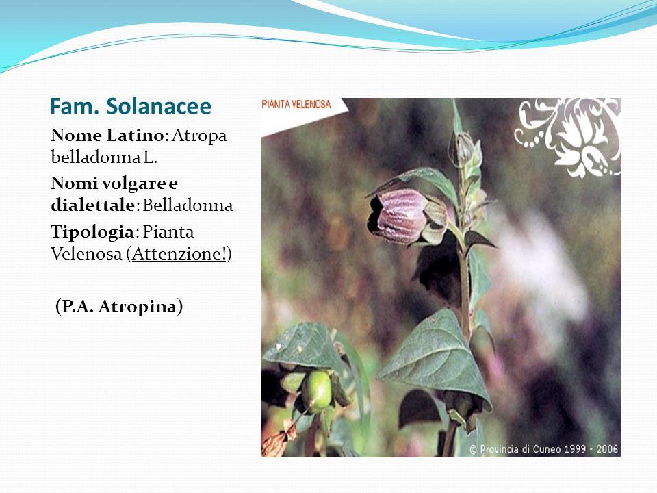 Fam. Solanacee Nome Latino: Atropa belladonna L.