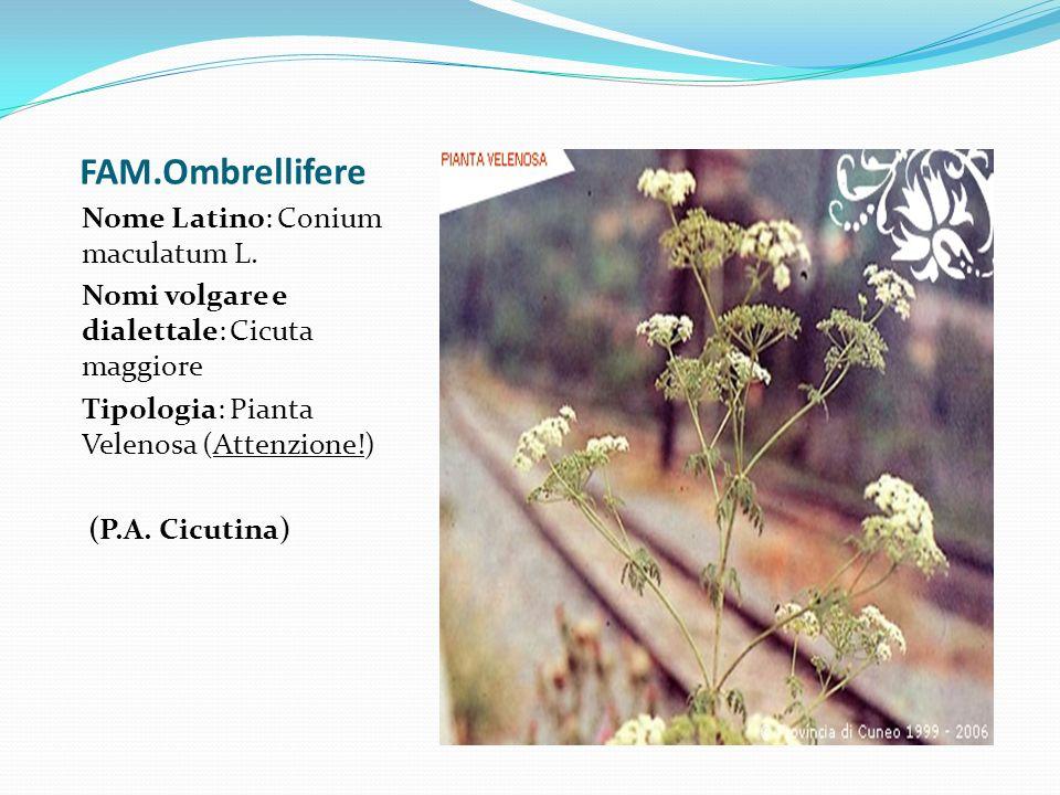 FAM.Ombrellifere Nome Latino: Conium maculatum L.