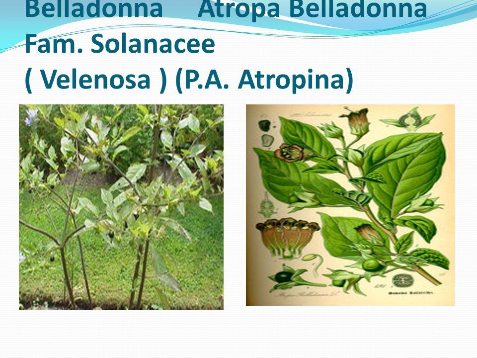Belladonna Atropa Belladonna Fam. Solanacee ( Velenosa ) (P. A