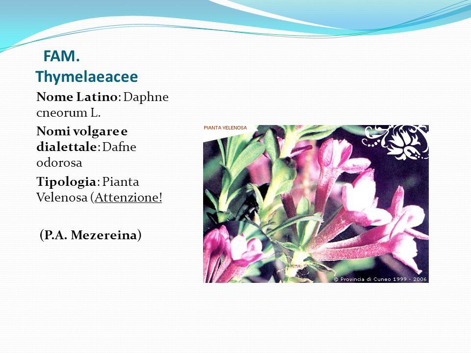 FAM. Thymelaeacee Nome Latino: Daphne cneorum L.