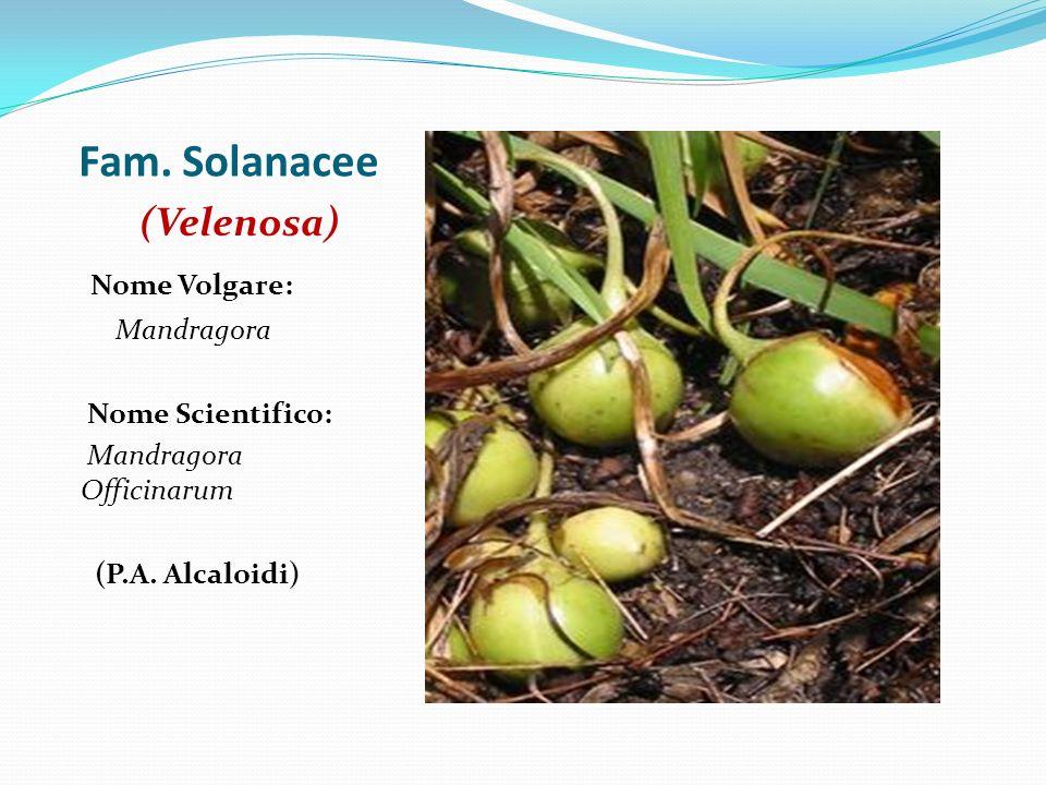 Fam. Solanacee (Velenosa) Nome Volgare: Mandragora Nome Scientifico: