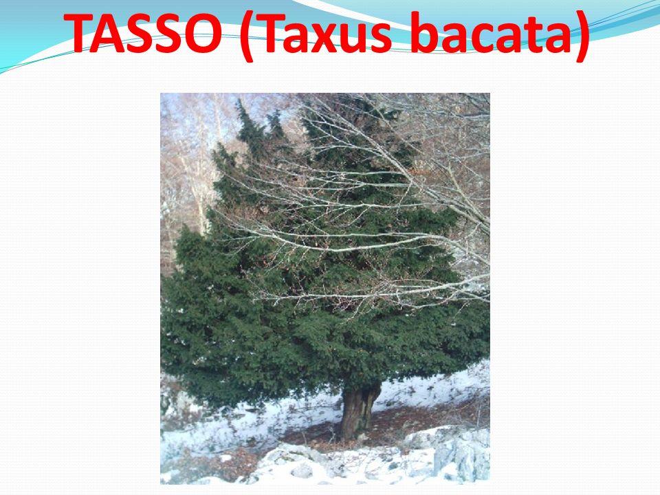TASSO (Taxus bacata)