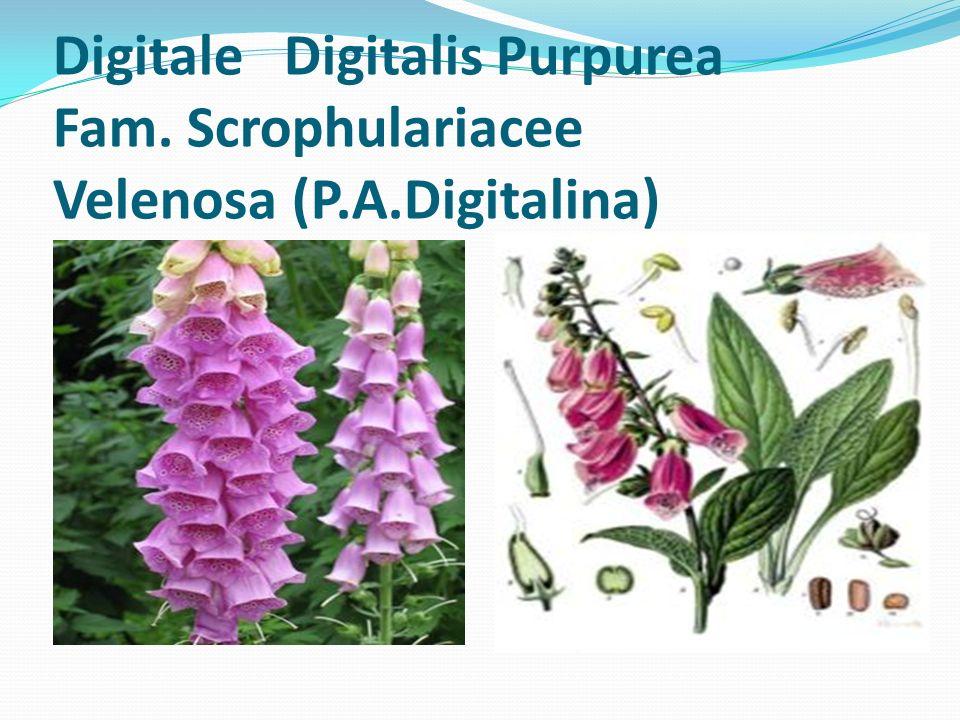 Digitale Digitalis Purpurea Fam. Scrophulariacee Velenosa (P. A