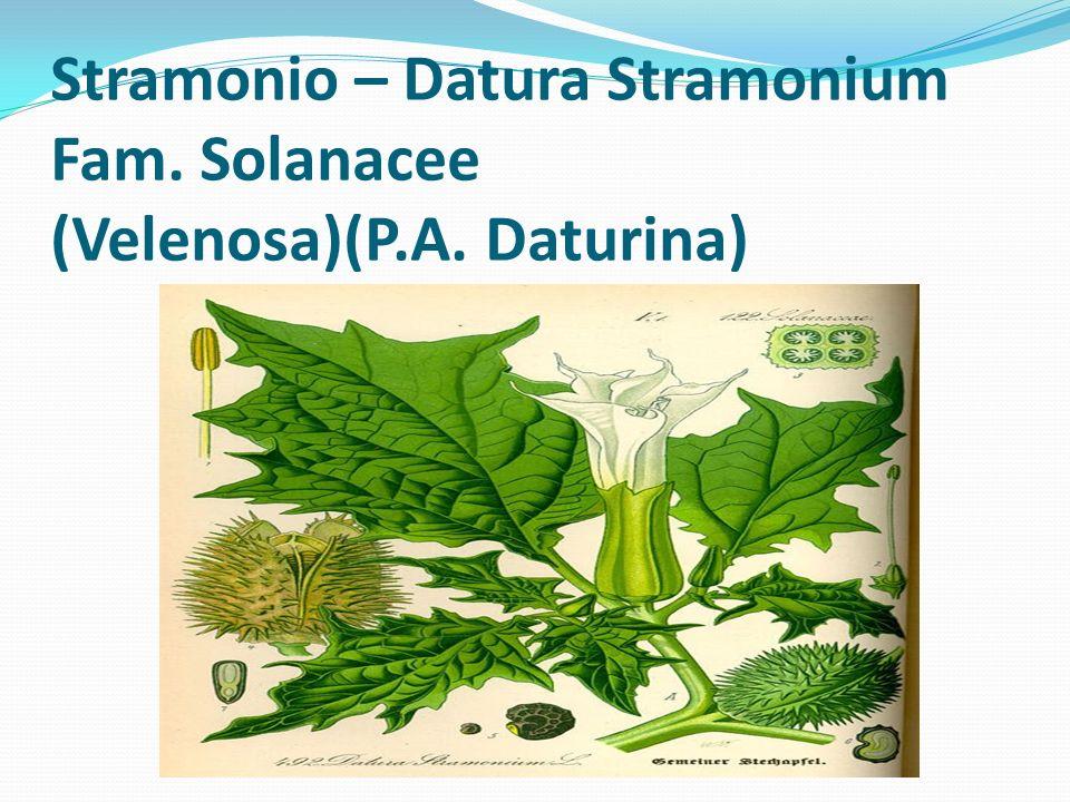 Stramonio – Datura Stramonium Fam. Solanacee (Velenosa)(P.A. Daturina)