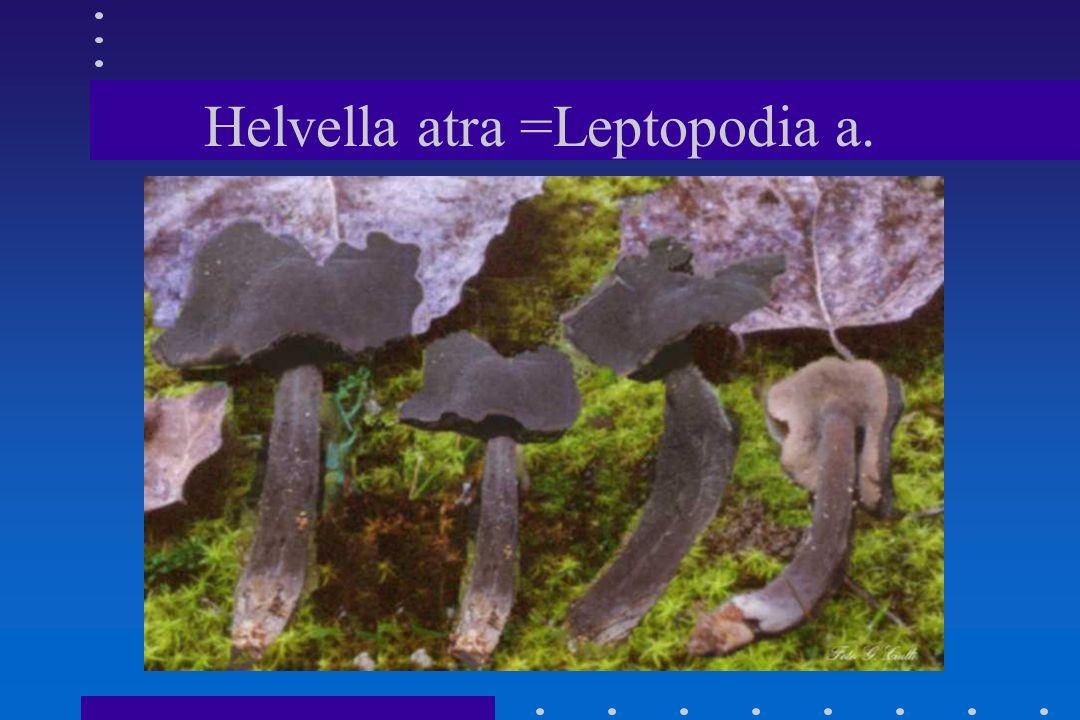Helvella atra =Leptopodia a.