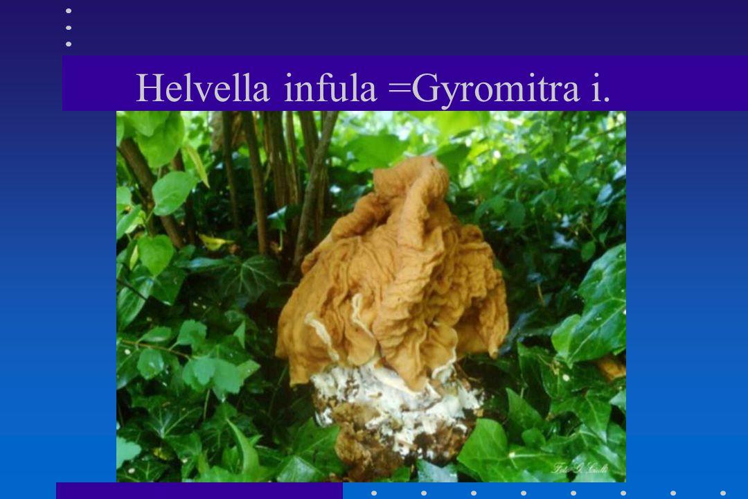 Helvella infula =Gyromitra i.
