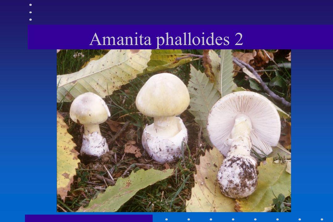 Amanita phalloides 2