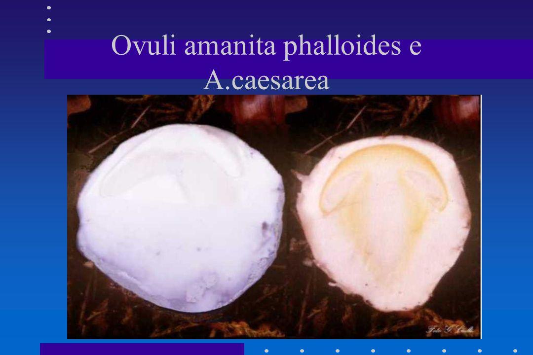 Ovuli amanita phalloides e A.caesarea