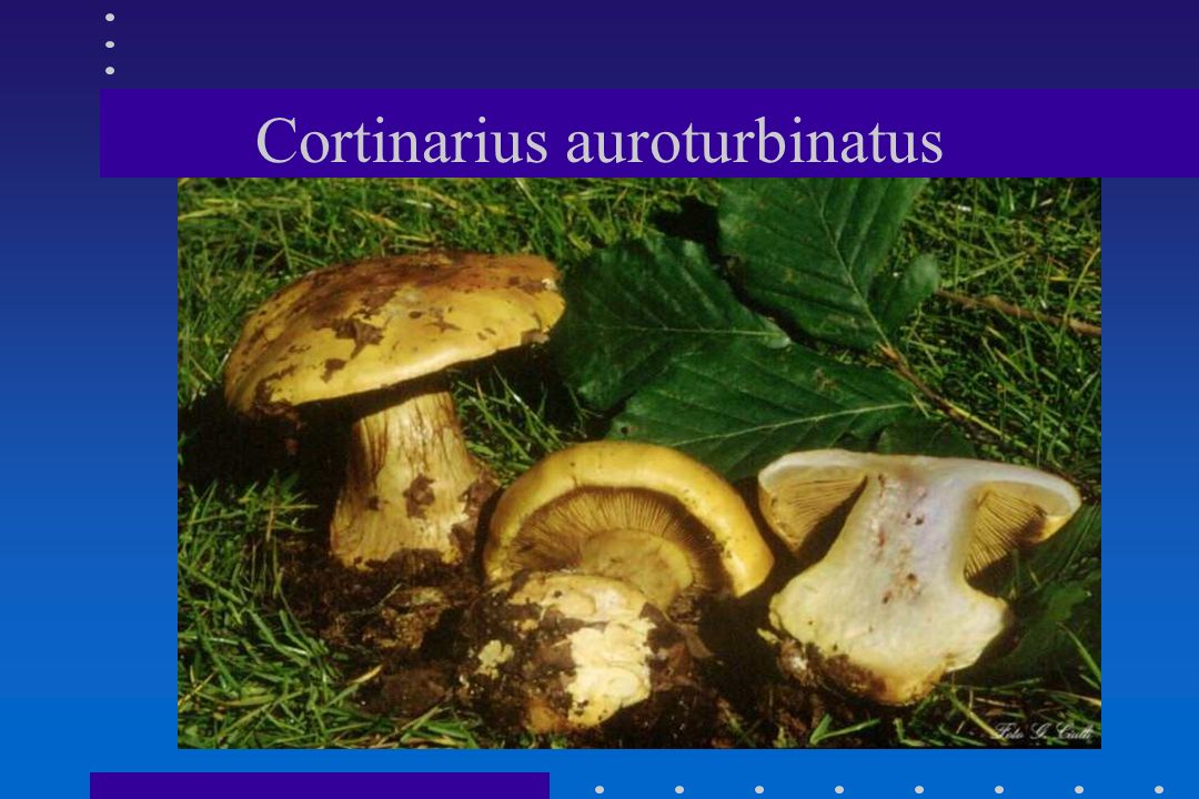 Cortinarius auroturbinatus