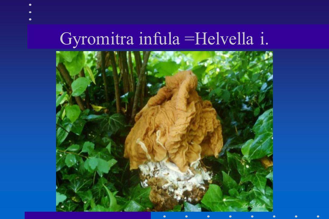 Gyromitra infula =Helvella i.