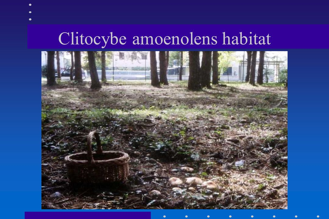 Clitocybe amoenolens habitat