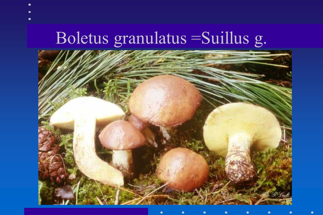 Boletus granulatus =Suillus g.