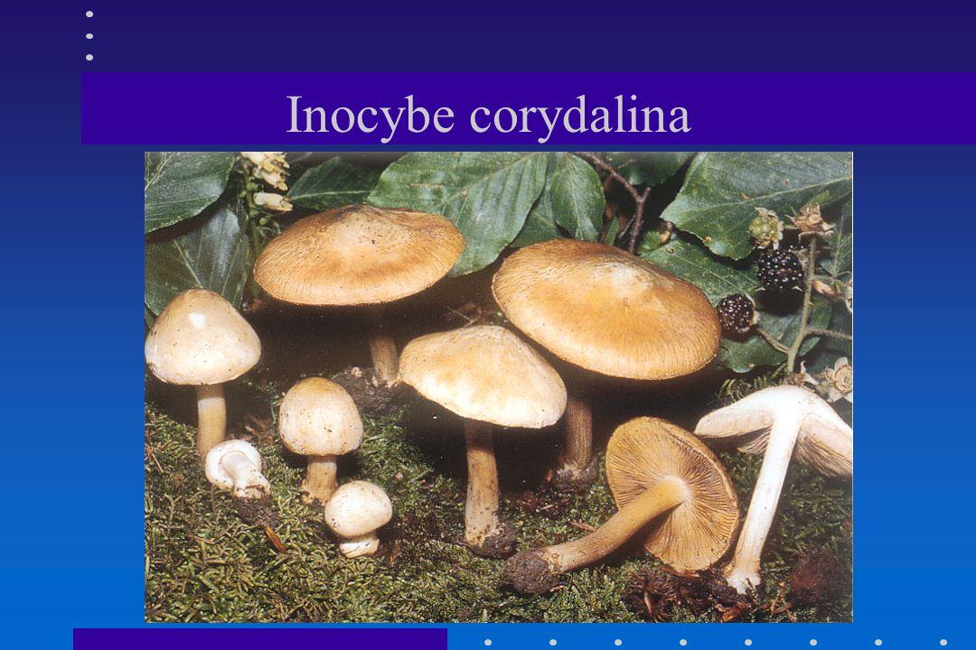 Inocybe corydalina
