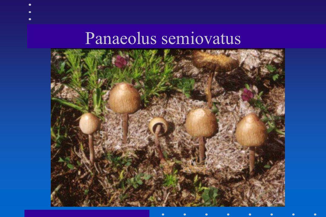 Panaeolus semiovatus