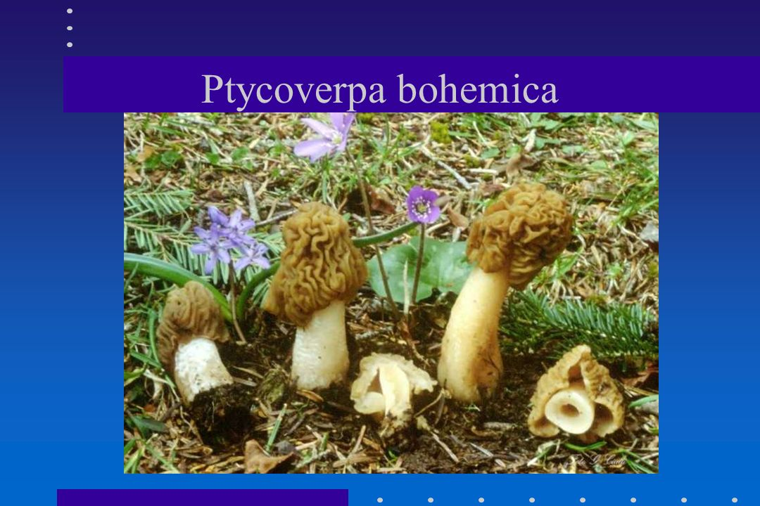 Ptycoverpa bohemica