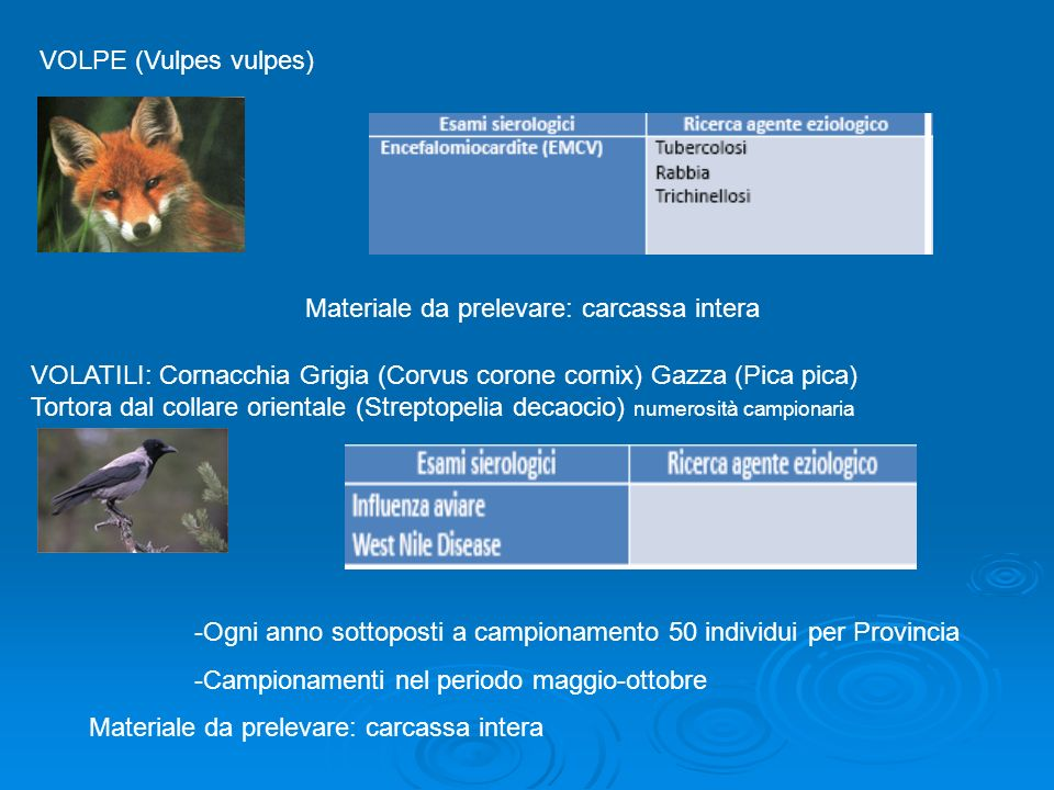 VOLPE (Vulpes vulpes) Materiale da prelevare: carcassa intera.