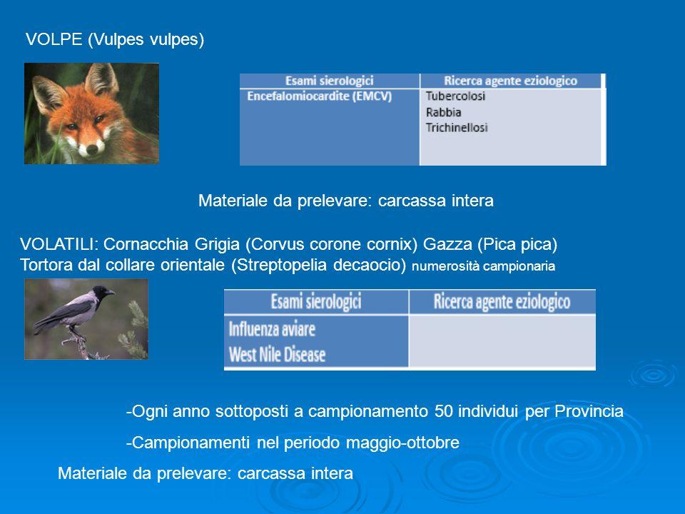 VOLPE (Vulpes vulpes)Materiale da prelevare: carcassa intera.