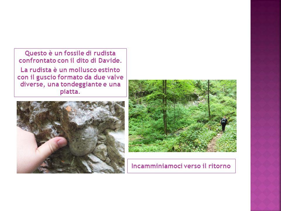 Questo è un fossile di rudista confrontato con il dito di Davide.