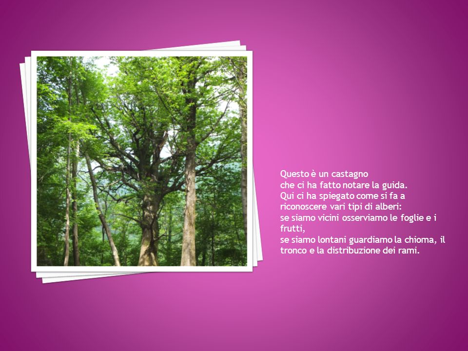 Questo è un castagno che ci ha fatto notare la guida. Qui ci ha spiegato come si fa a riconoscere vari tipi di alberi:
