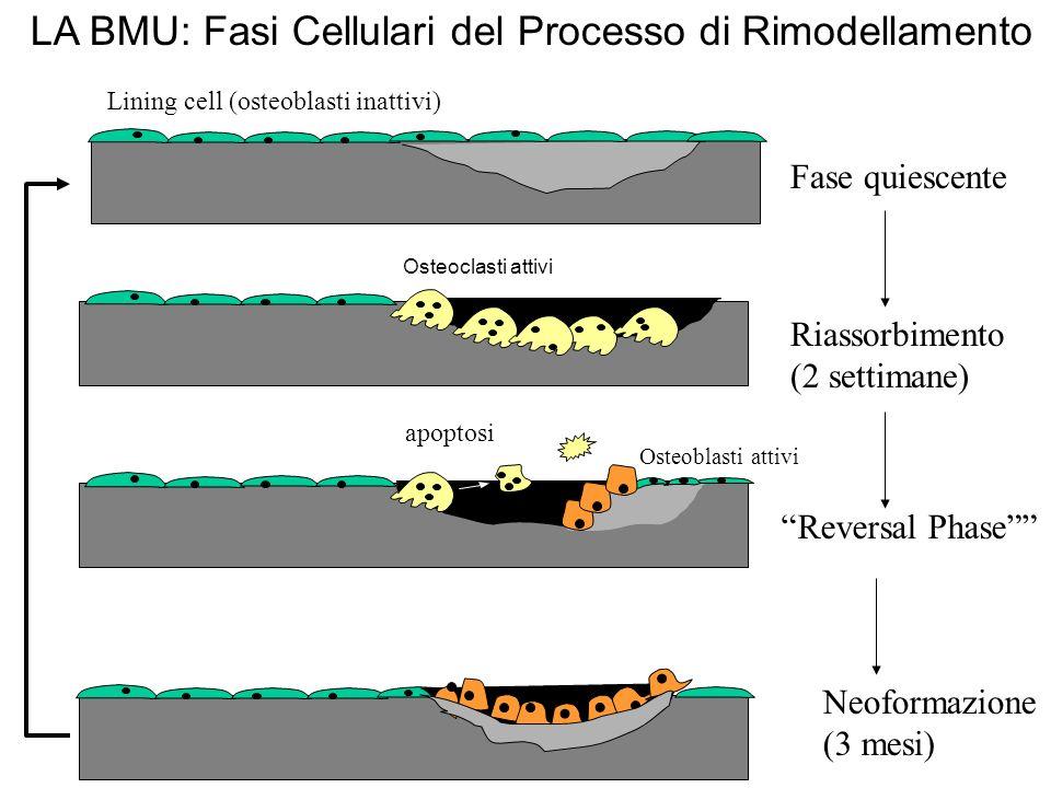 LA BMU: Fasi Cellulari del Processo di Rimodellamento