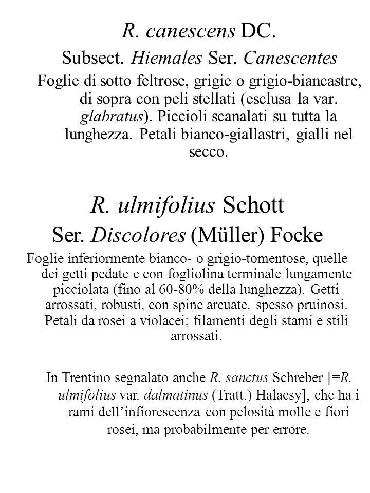 R. ulmifolius Schott R. canescens DC. Ser. Discolores (Müller) Focke