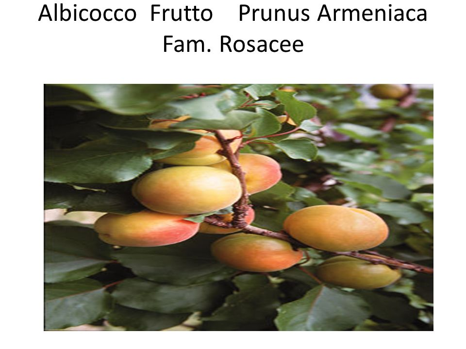 Albicocco Frutto Prunus Armeniaca Fam. Rosacee