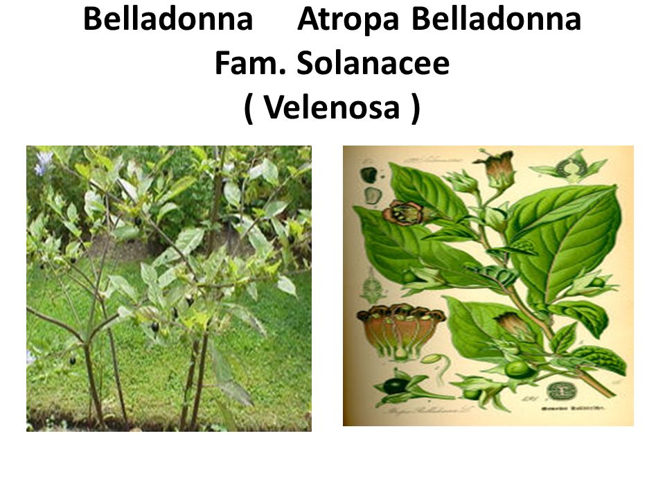Belladonna Atropa Belladonna Fam. Solanacee ( Velenosa )