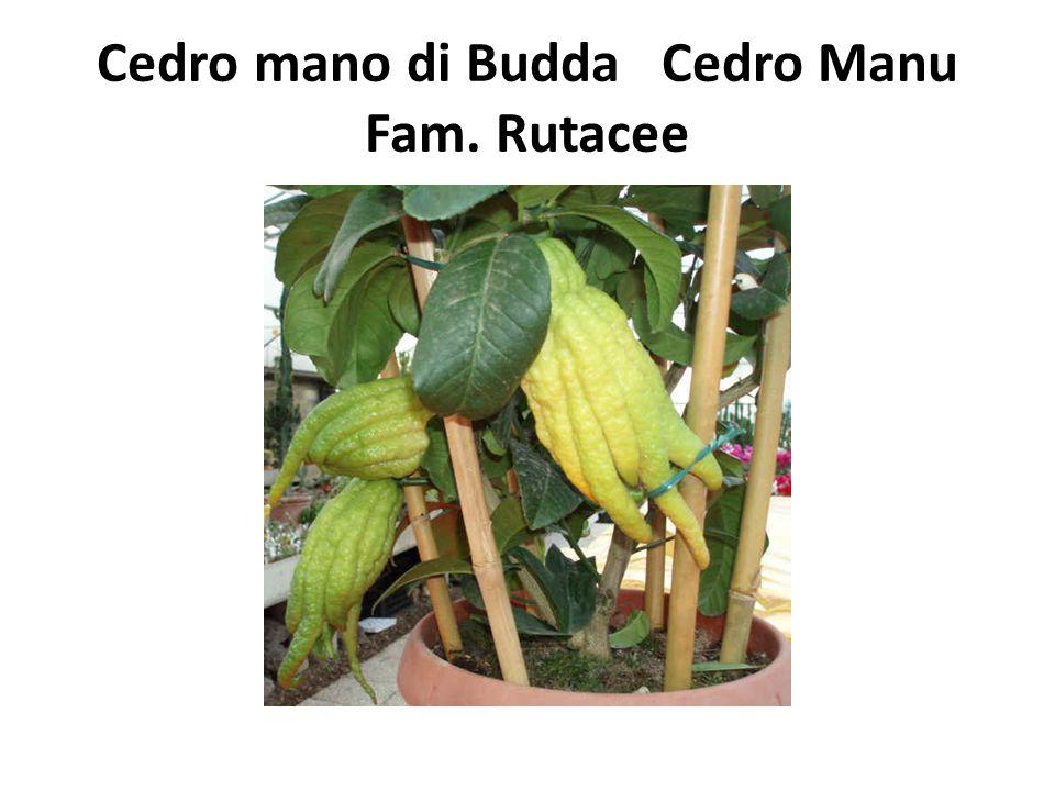 Cedro mano di Budda Cedro Manu Fam. Rutacee