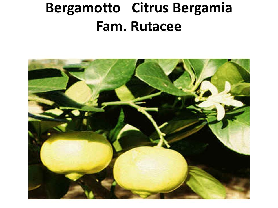 Bergamotto Citrus Bergamia Fam. Rutacee
