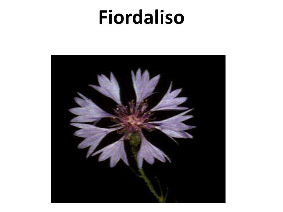 Fiordaliso