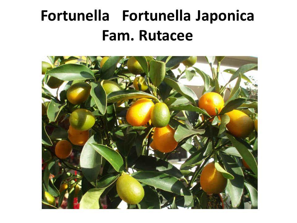 Fortunella Fortunella Japonica Fam. Rutacee