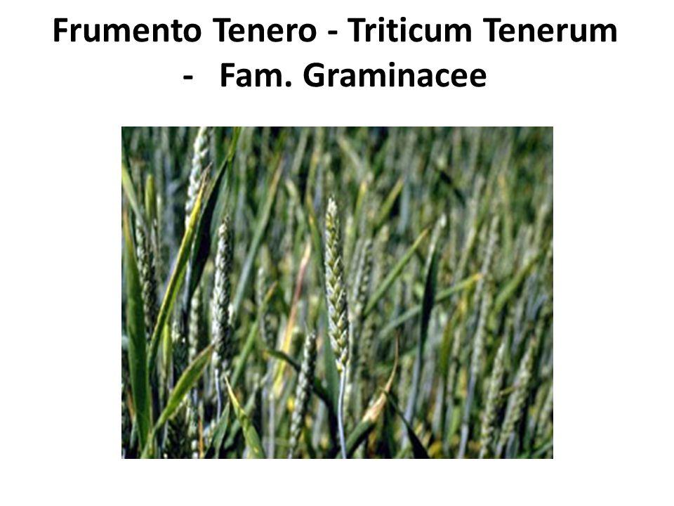 Frumento Tenero - Triticum Tenerum - Fam. Graminacee