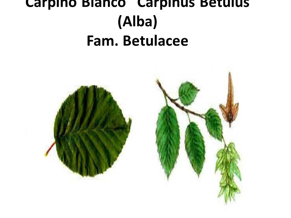Carpino Bianco Carpinus Betulus (Alba) Fam. Betulacee