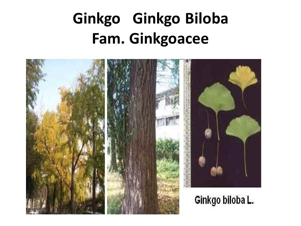 Ginkgo Ginkgo Biloba Fam. Ginkgoacee