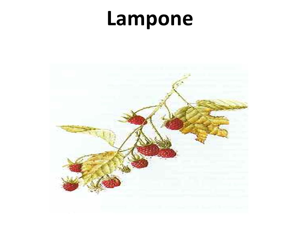 Lampone