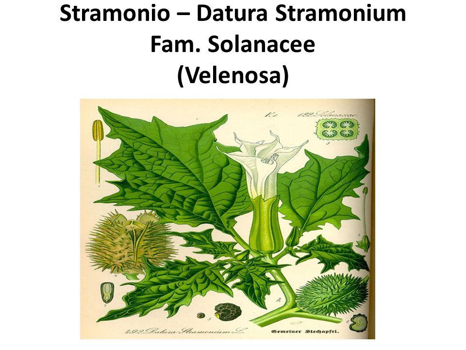 Stramonio – Datura Stramonium Fam. Solanacee (Velenosa)