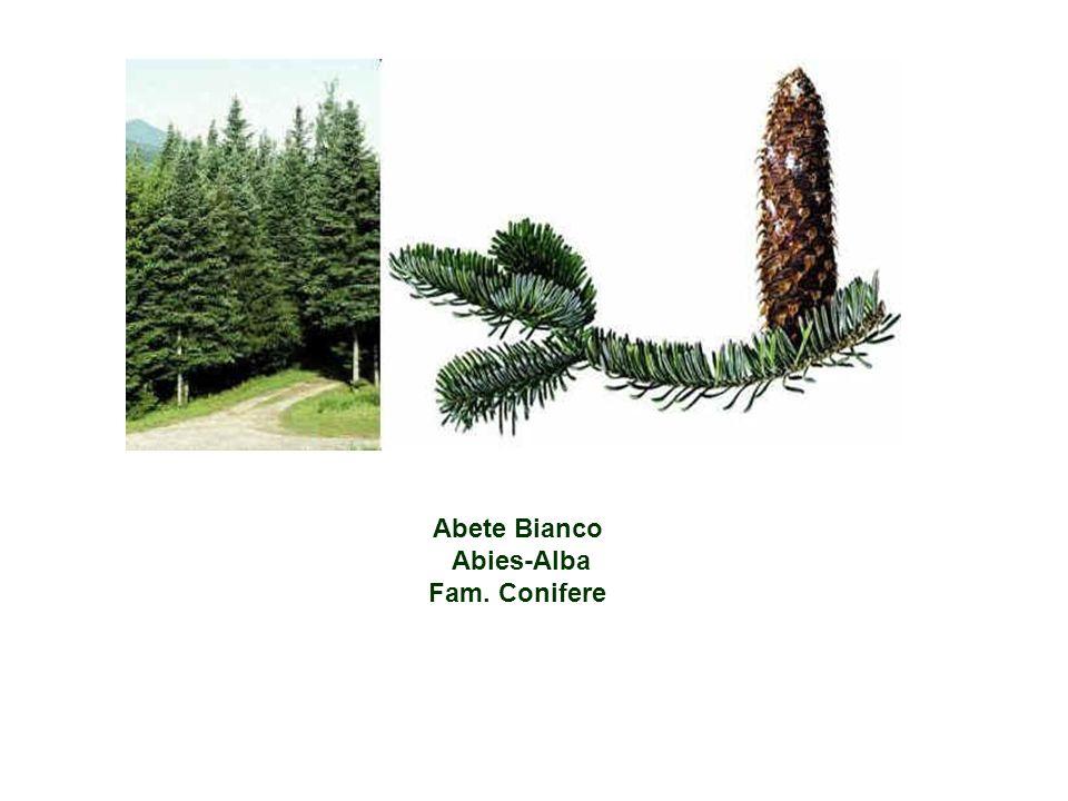 Abete Bianco Abies-Alba Fam. Conifere