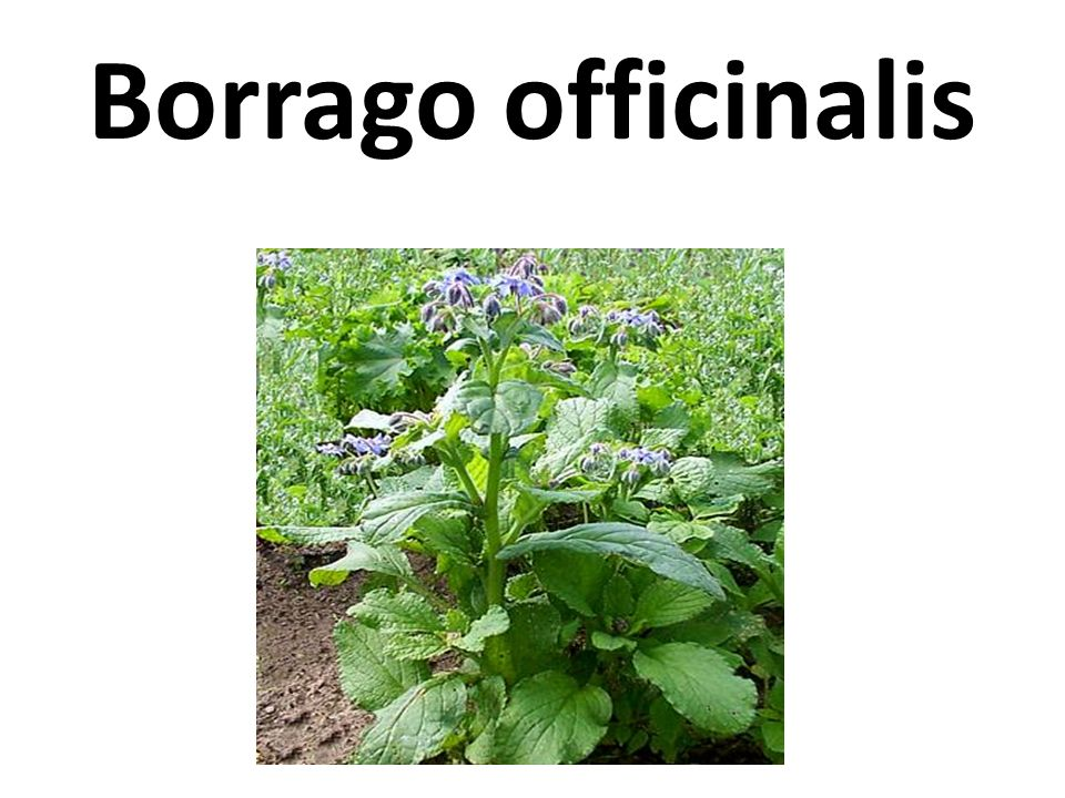 Borrago officinalis