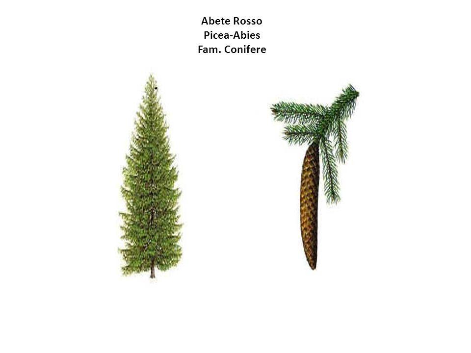 Abete Rosso Picea-Abies Fam. Conifere